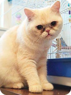 Exotic Cat for adoption in Philadelphia, Pennsylvania - Charles