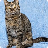 Adopt A Pet :: Amber - Mt. Prospect, IL