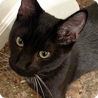 Adopt A Pet :: Bella Benttail - Yuba City, CA