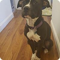 Pit Bull Terrier Dog for adoption in Troy, Illinois - Raini Fostered (Danielle)