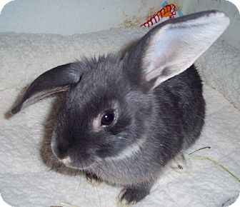 Silver Marten Mix for adoption in Santee, California - Barnaby