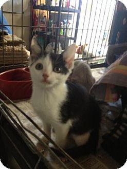 American Shorthair Kitten for adoption in Plainfield, Connecticut - Ben