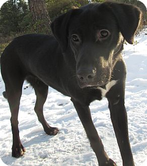 Labrador Retriever Mix Dog for adoption in Forked River, New Jersey - Lita
