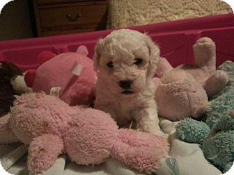 Bichon Frise Puppy for adoption in Sinking Spring, Pennsylvania - Finnegan