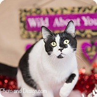 Adopt A Pet :: Opus - Fountain Hills, AZ