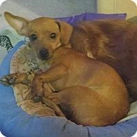 Adopt A Pet :: Autumn - Henderson, NV