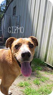 Bulldog Mix Dog for adoption in Georgetown, South Carolina - Gizmo