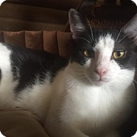 Domestic Shorthair Cat for adoption in Burlington, North Carolina - LUKE