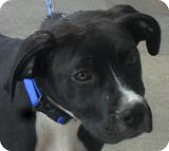 Labrador Retriever/Boxer Mix Dog for adoption in Grand Saline, Texas - Hercules