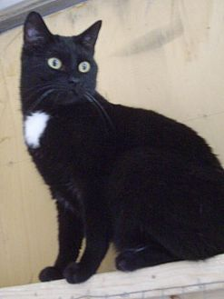 Domestic Shorthair Cat for adoption in Montreal, Quebec - Timmy