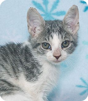 Domestic Shorthair Kitten for adoption in Elmwood Park, New Jersey - Alex