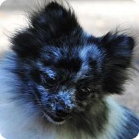Adopt A Pet :: Pearl - Vernonia, OR