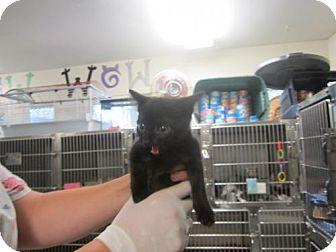 Domestic Shorthair Kitten for adoption in Cocoa, Florida - Fiona (Cocoa Center)