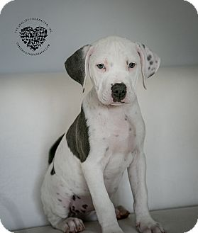 Hound (Unknown Type)/Pit Bull Terrier Mix Puppy for adoption in Inglewood, California - 6 of 11 Litter Girl