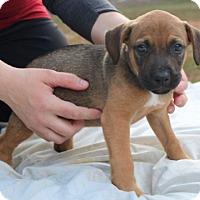 Adopt A Pet :: Pitty Pumpkin 1 - Pompton Lakes, NJ