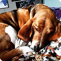 Basset Hound Dog for adoption in Salt Lake City, Utah - Gus
