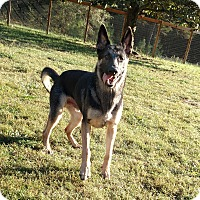 German Shepherd Dog Dog for adoption in Mocksville, North Carolina - Ted