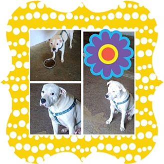American Bulldog Dog for adoption in Rosemount, Minnesota - Harlow