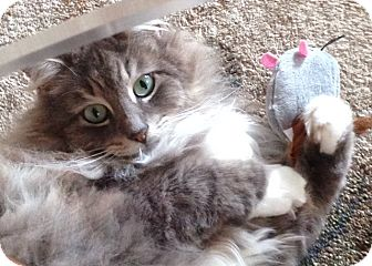 Domestic Longhair Cat for adoption in Summerville, South Carolina - Sweetie Pie