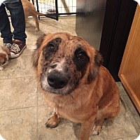Adopt A Pet :: Molly (FORT COLLINS) - Fort Collins, CO