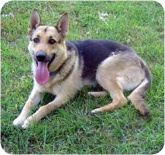 German Shepherd Dog Dog for adoption in Pike Road, Alabama - Trinka