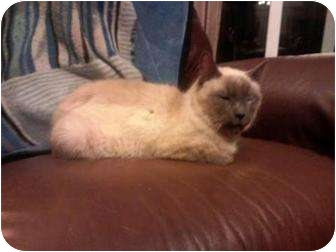Siamese Cat for adoption in Summerville, South Carolina - Ramses