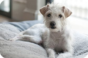 chinese crested terrier kiki adopted dog houston tx chinese crested terrier 9827