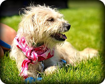 Lhasa Apso/Terrier (Unknown Type, Small) Mix Dog for adoption in Sparta, New Jersey - Jem