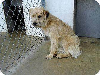 wheaten terrier rescue ohio nora adopted dog washington court house oh wheaten 2308