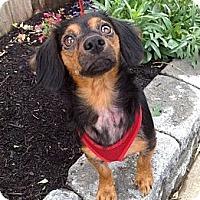 Adopt A Pet :: ALLIE - Portland, OR
