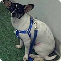 Adopt A Pet :: Rowdy ~ Courtesy listing - San Angelo, TX