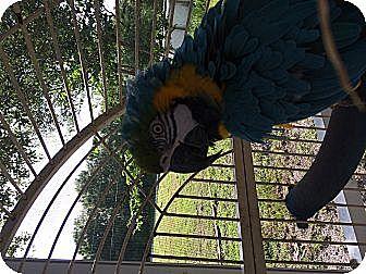 Macaw for adoption in Punta Gorda, Florida - Birdie