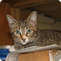 Adopt A Pet :: santa tabby - Morriston, FL