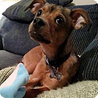 Adopt A Pet :: Pippin - Detroit, MI