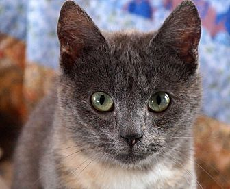 American Shorthair Cat for adoption in Maynardville, Tennessee - Flower