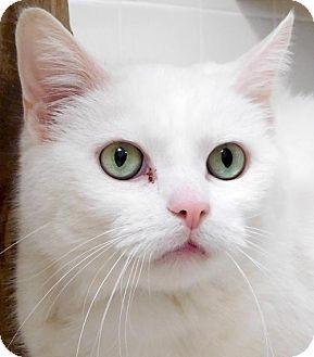 Domestic Shorthair Cat for adoption in Jefferson, Wisconsin - Sake