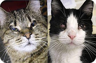 Domestic Shorthair Cat for adoption in Chicago, Illinois - Lemonade