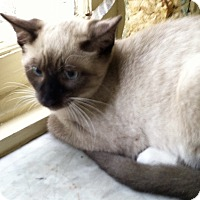 Siamese Cat for adoption in Philadelphia, Pennsylvania - Yosemite Sam