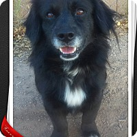 Tibetan Spaniel/Pekingese Mix Dog for adoption in Apache Junction, Arizona - Shorty