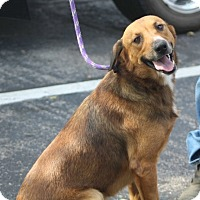 German Shepherd Dog/Golden Retriever Mix Dog for adoption in Liberty Center, Ohio - Norbert