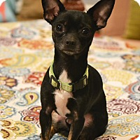 "Chihuahua Mix Dog for adoption in Bedminster, New Jersey - James ""Bond"""