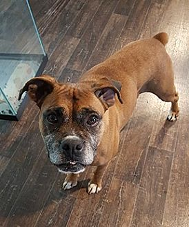 Boxer Dog for adoption in Wilmington, North Carolina - Reba