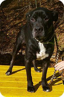 Pit Bull Terrier/Labrador Retriever Mix Dog for adoption in Pottsville, Pennsylvania - Morris