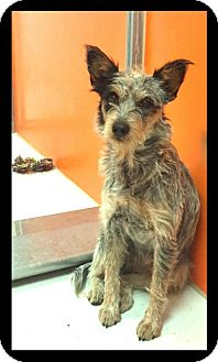 Cattle Dog/Terrier (Unknown Type, Medium) Mix Dog for adoption in Pampa, Texas - Trixie Dixie Chick 25264