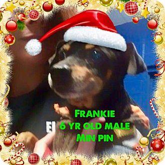 Miniature Pinscher Dog for adoption in Pomfret, Connecticut - FRANKIE