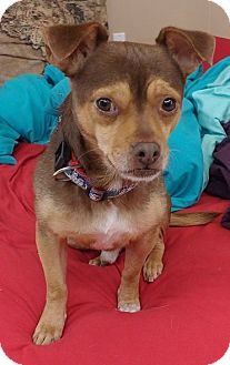 Chihuahua/Manchester Terrier Mix Dog for adoption in Seattle, Washington - Brownie
