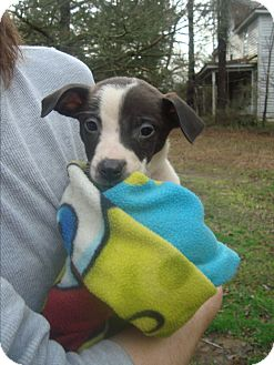 Chihuahua/American Pit Bull Terrier Mix Puppy for adoption in Old Bridge, New Jersey - Gus