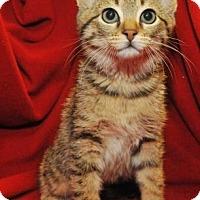 Adopt A Pet :: Sheba - Garland, TX