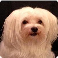Adopt A Pet :: Icy - Morganville, NJ