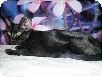 Burmese Cat Rescue California